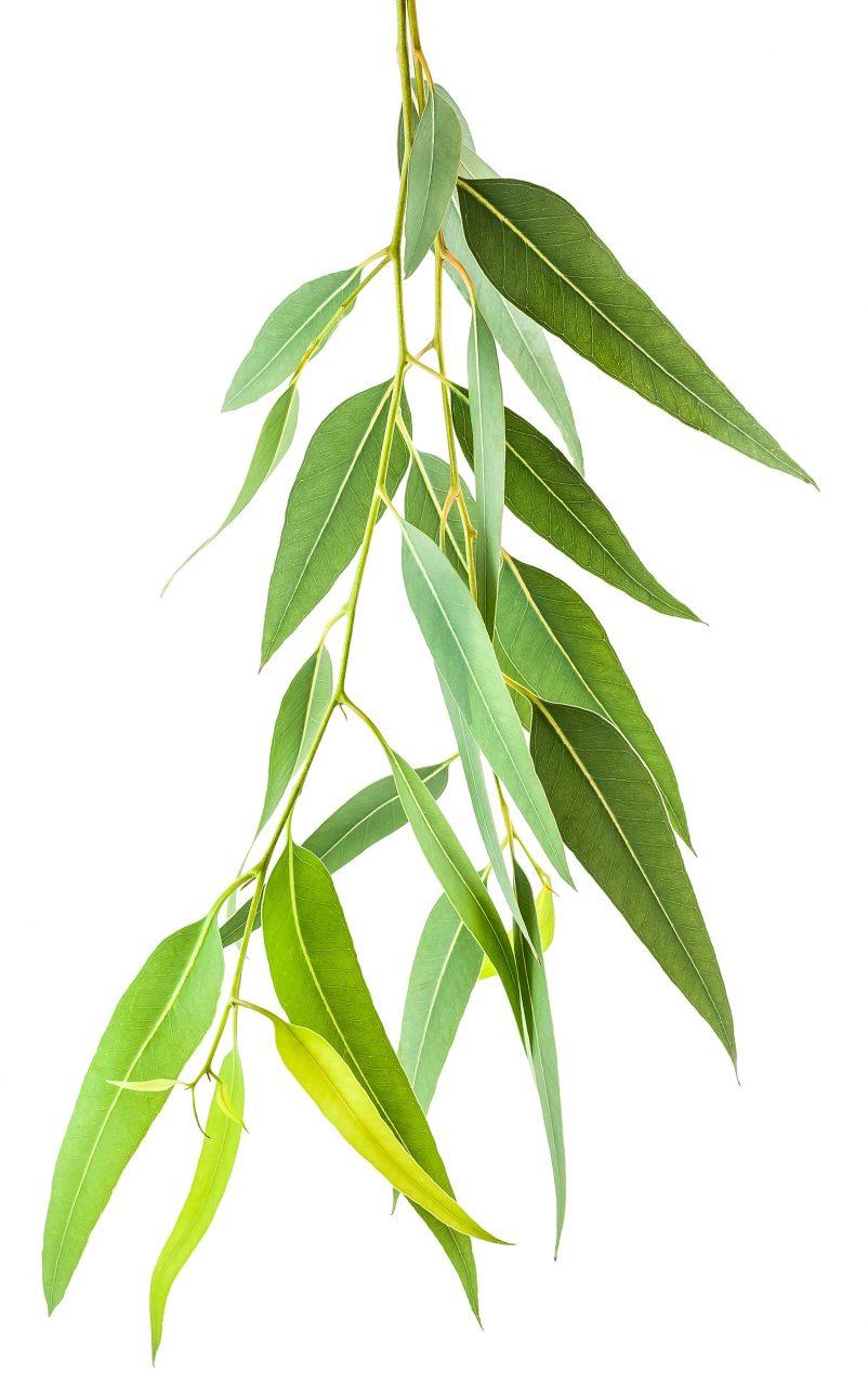 Bilde av eucalyptus globosus